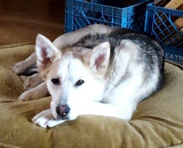 Silver is a female, 2-year-old, husky cross.