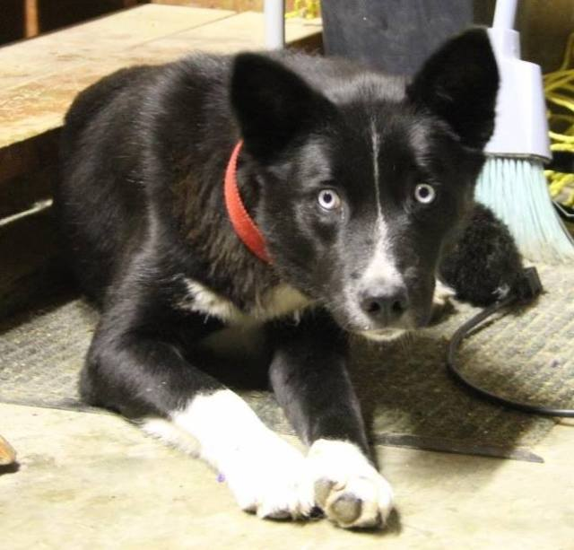 Elderberry is a female medium sized dog. Karelian Bear Dog X Border Collie X Husky is our best guess at her breed.