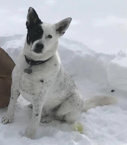 Spike is a male three-year-old Blue Heeler/Husky cross.