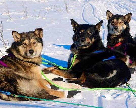 Three sled dogs looking for a home.