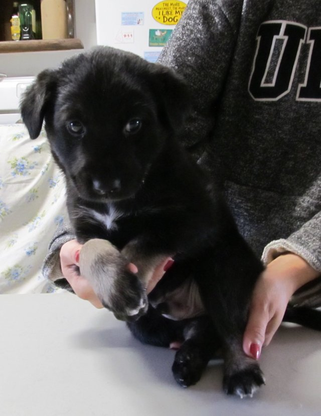 Nylon is a male lab cross from YARN's fabric litter.