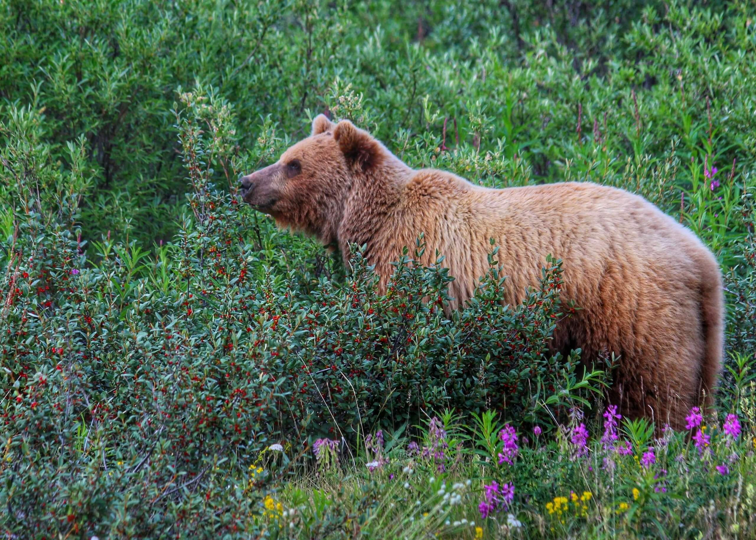 Brown and blonde grizzly bear stands in a red soap berries patch