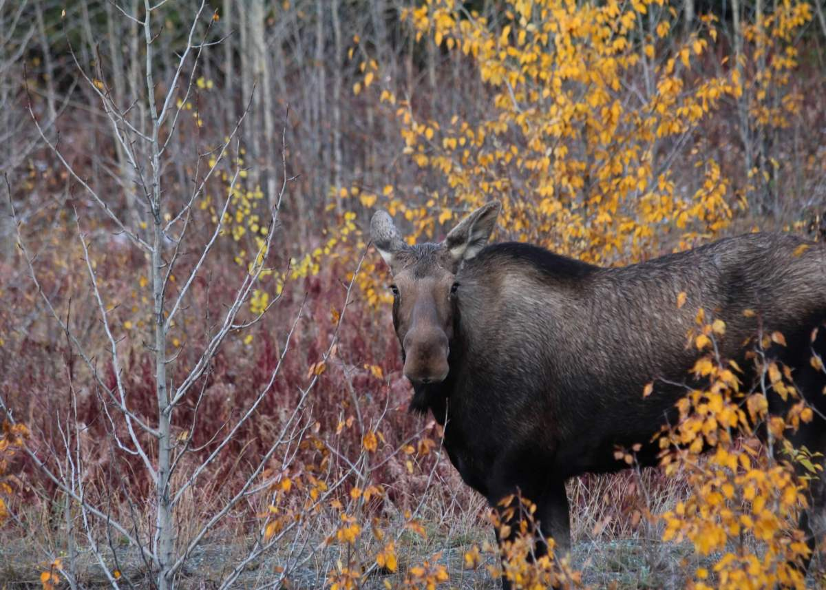 Moose standing in the yellow and red fall foliage in Kluane National Park, Yukon