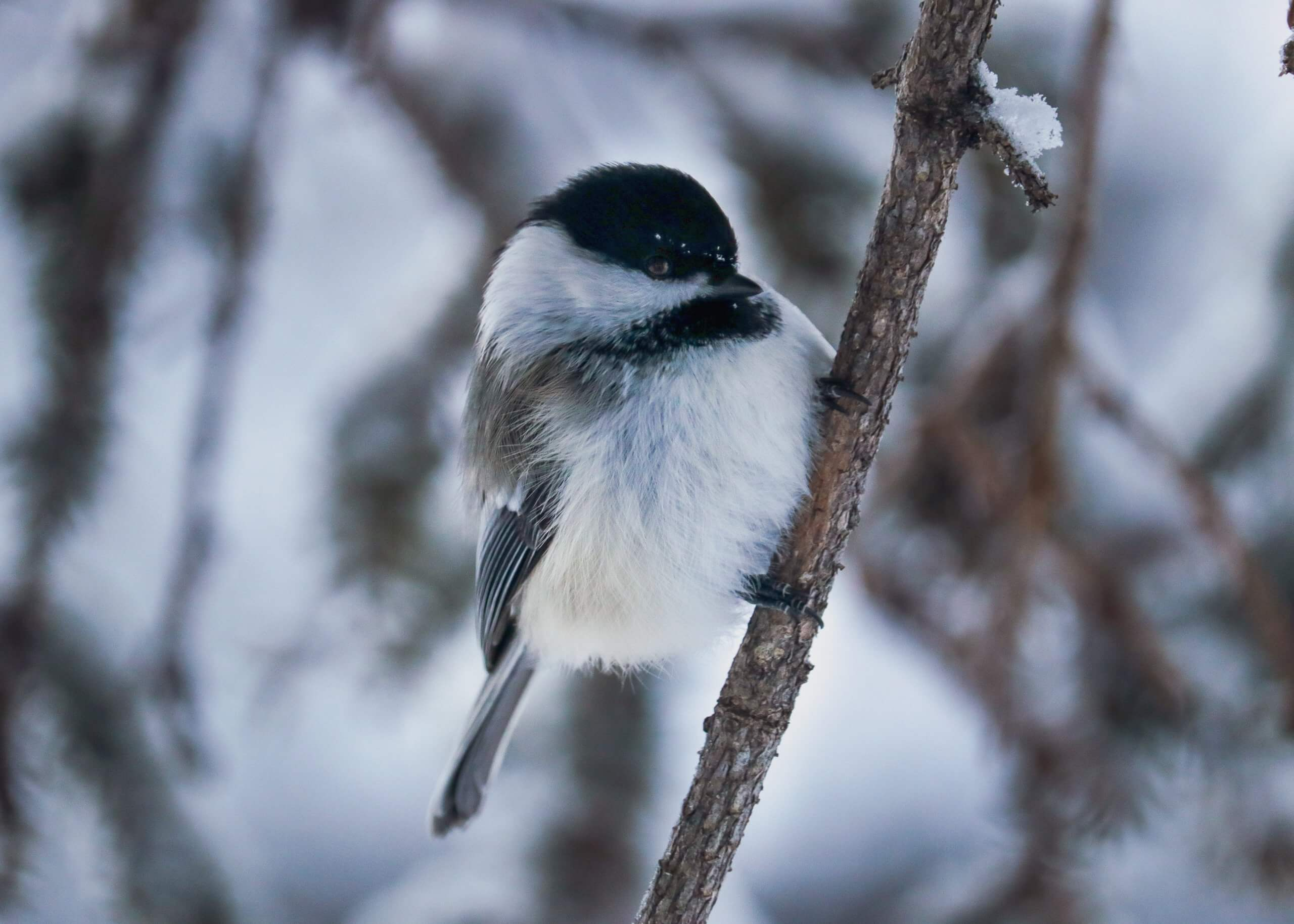 A chickadee bird hangs from a spruce tree branch in between feedings