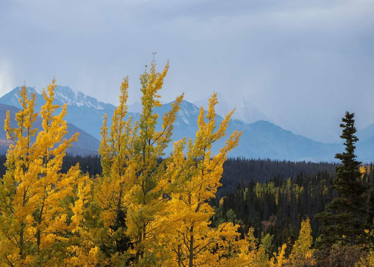 Bright yellow fall colours decorate the foreground of a scenic vista of the mountains in Kluane National Park, Yukon