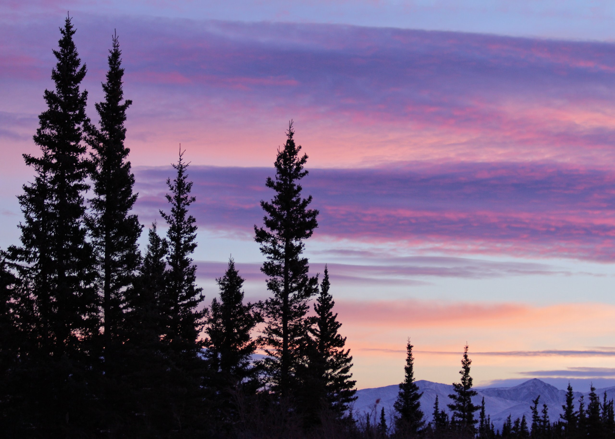 A pink, purple, and peach morning sunrise sky illuminate the winter mountains and tall spruce trees