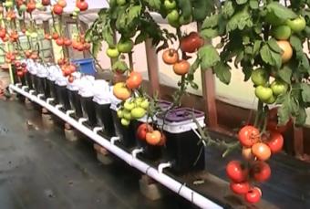 tomat-fertigasi