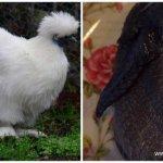 Пробую мясо черной курицы! Китайская шелковистая курица для здоровья и долголетия.
