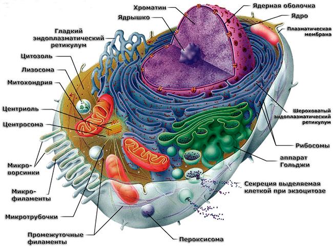 Строение клетки | cell structure