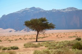 Desert Tree, Wadi Rum
