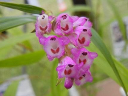 elleanthus-amethystinus
