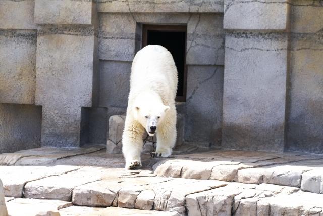 白熊に追いかけられる