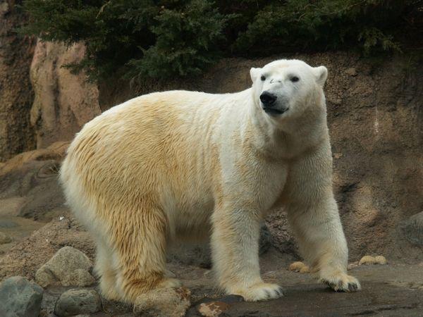 大きな白熊