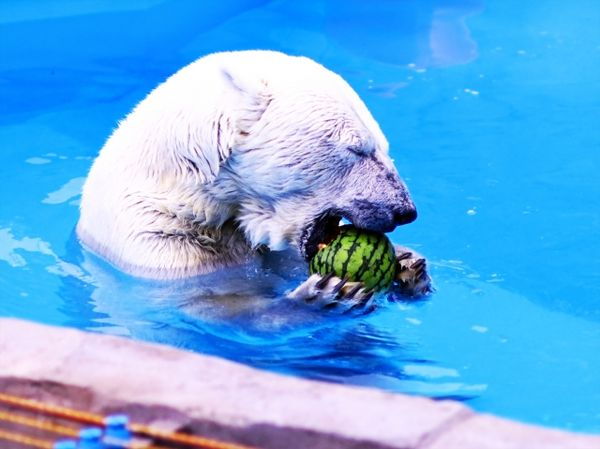 白熊に噛みつかれる