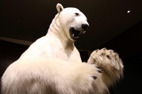 白熊と戦う