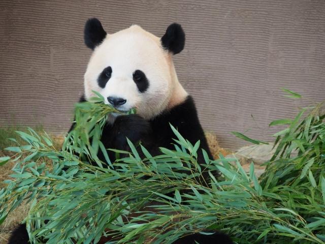 パンダがエサを食べる