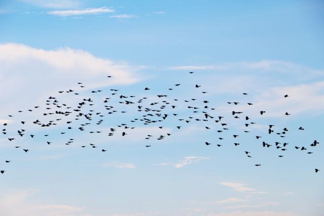 たくさんの鳥の群れが飛ぶ