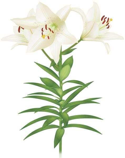 ユリの花を育てる