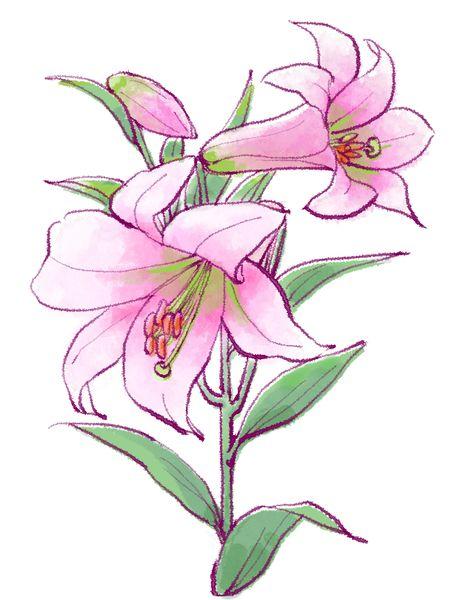 ピンク色のユリの花