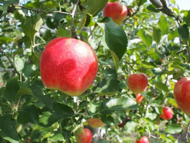 果物を育てる