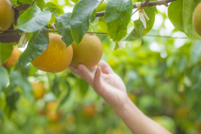 梨を収穫している