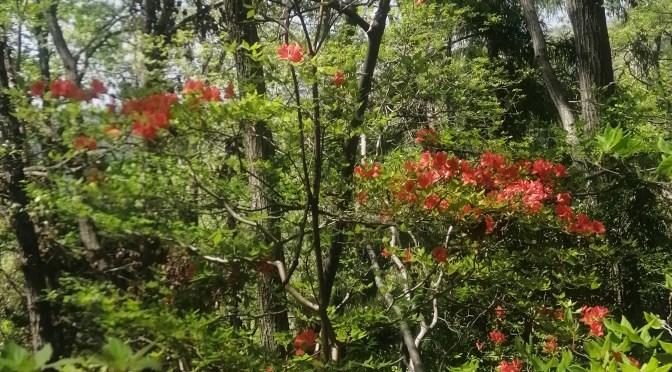 仙元山のツツジ咲いてきました