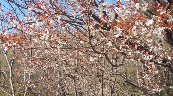 見晴らし公園の桜も咲きました。