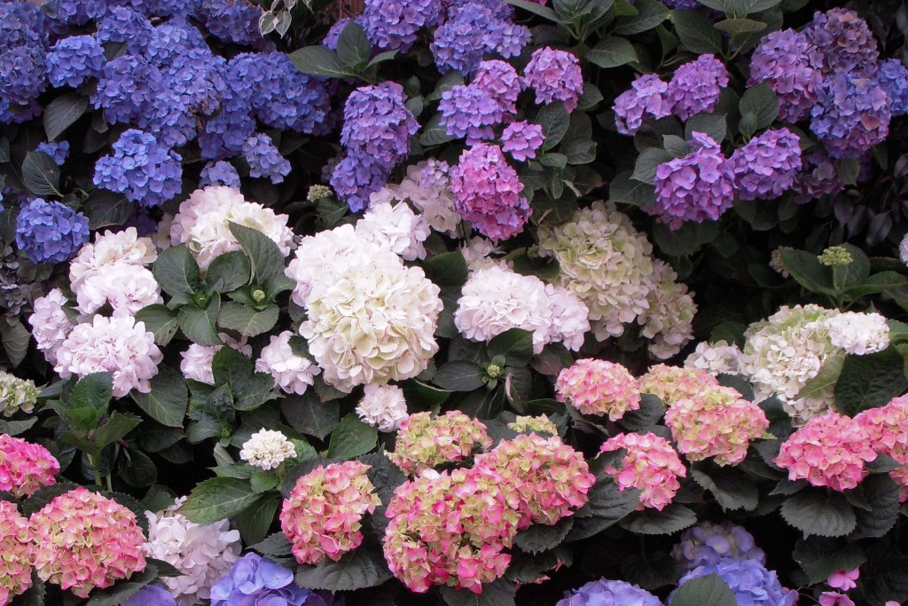 shade_flowering_hydrangea_mix_0-1