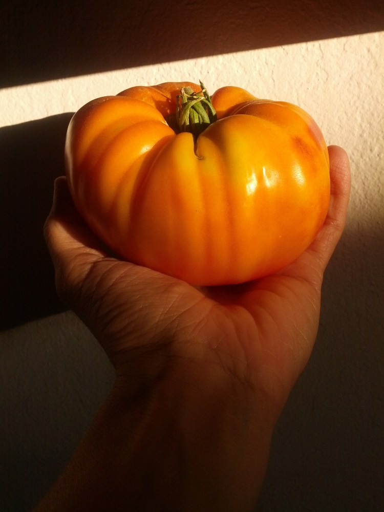 Heirloom Tomatoes are Ready! (1/6)
