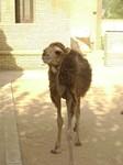 Cría de Dromedario - Túnez -