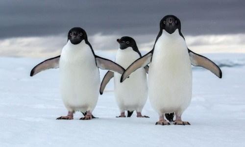 ペンギンがかわいい姿になった理由は?泳げるけど飛べないのは本当?
