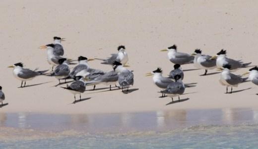 西之島に棲息する鳥類オオアジサシの生態!絶滅危惧種指定の理由は?