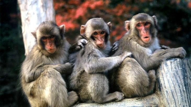 出演料の不満が爆発!高崎山自然動物園のニホンザル達がストライキ!
