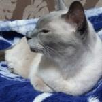 18才で腎不全の猫、シャムにゃんは今日も元気です。