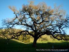 mighty oak