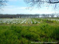 strawberry field