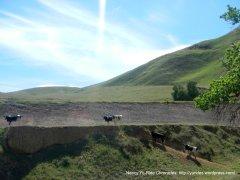 cows on the ridge
