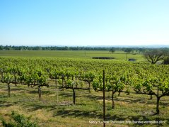vineyards along Faught Rd