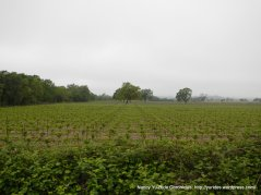 vineyards on Willowside Rd