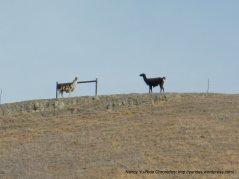 alpacas & llamas