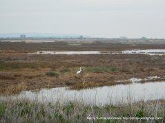 white herons-Goodyear Slough