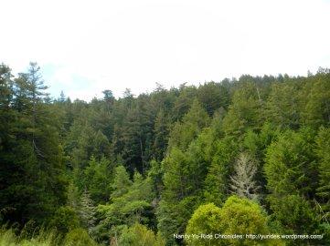 redwoos forest-Sam McDonald County Park