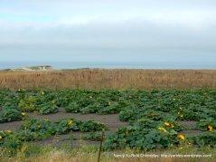 pumpkin field