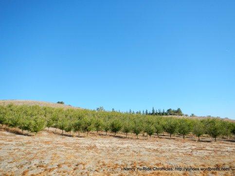 CA-41 S olive grove