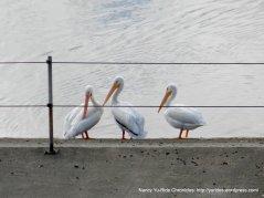 reservoir pelicans