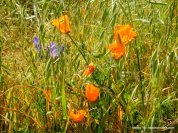 ithuriel's spear-ca poppies