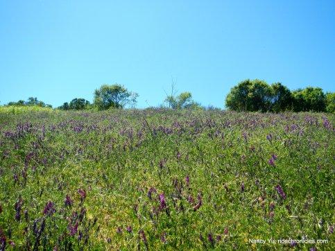 purple veitch