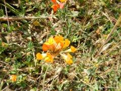 california broom-deerweed
