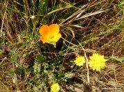 poppy, smooth hawksbeard, common madia