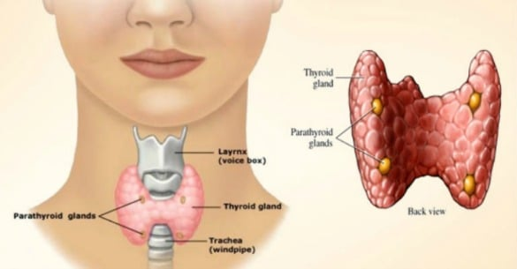 View of Thyroid